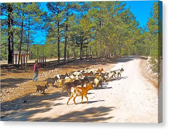 Goats Cross The Road With Tarahumara Boy As Goatherd-chihuahua Canvas Print