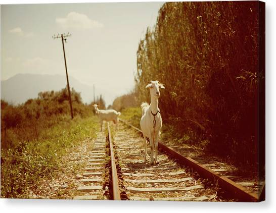 Goats On A Railroad Track Canvas Print