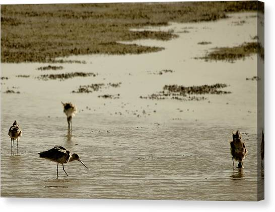 Godwit Days Canvas Print