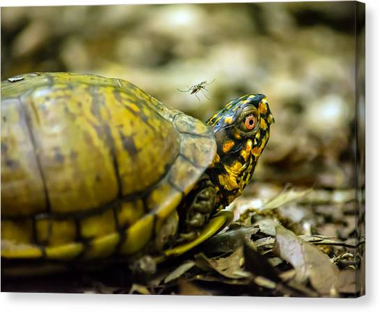 Tortoises Canvas Print - Going For Blood by Jon Woodhams