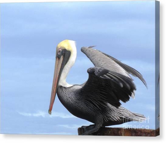 Gold Crown Pelican Canvas Print