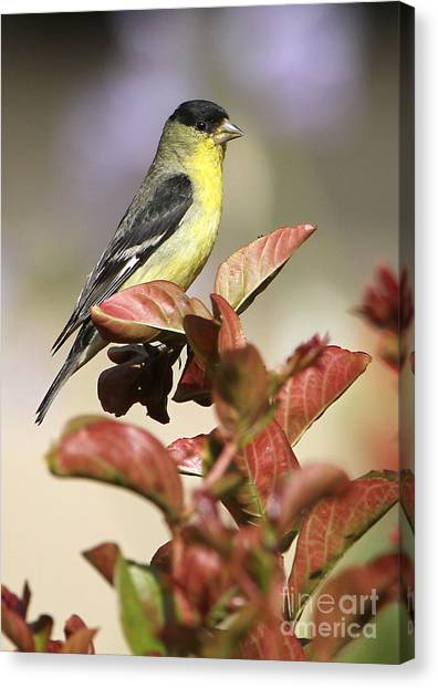 Cal Poly Canvas Print - Gold Finch by CJ McKendry