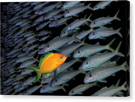 Gold Fish Swimming Opposite Direction To Grey Shoal Canvas Print by Steve Bloom