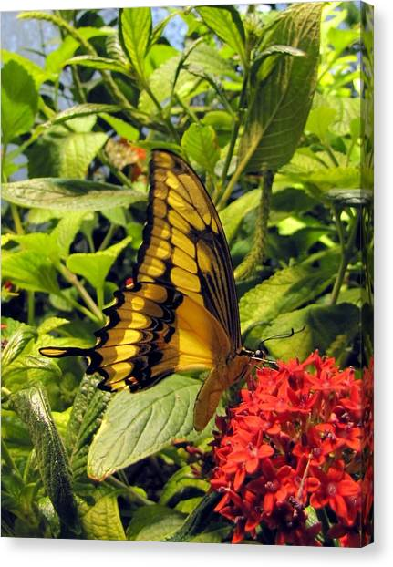 Gold Giant Swallowtail Canvas Print