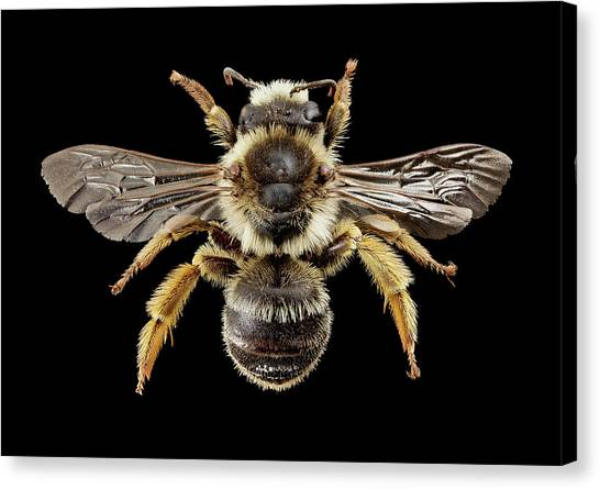 Pollinator Canvas Print - Gold-tailed Melitta Bee by Us Geological Survey