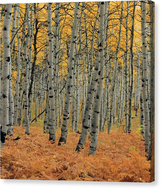 Golden Aspen Forest Canvas Print