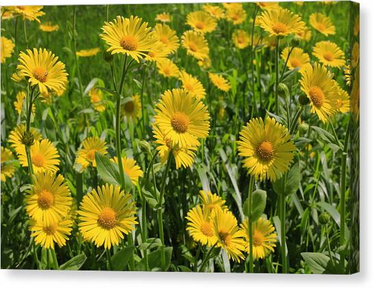 Golden Asters Canvas Print