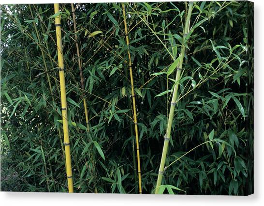 Golden Bamboo (phllostachys Aurea) Canvas Print by Sally Mccrae Kuyper/science Photo Library