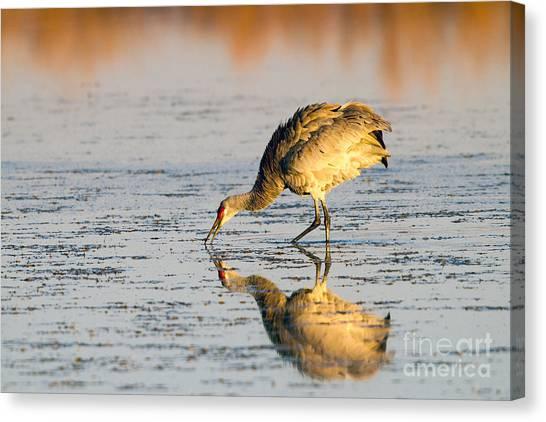 Golden Crane Reflections Canvas Print