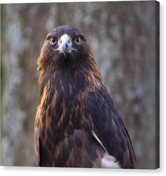 Golden Eagle 4 Canvas Print