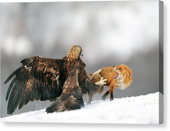 Golden Eagle Canvas Print - Golden Eagle And Red Fox by Yves Adams