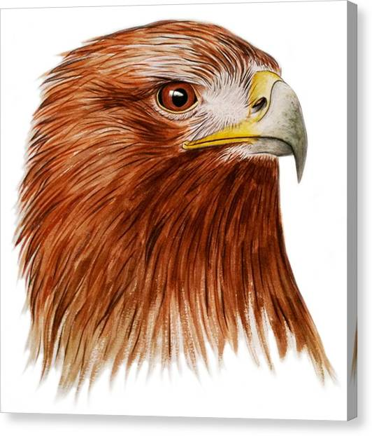 Golden Eagle Canvas Print - Golden Eagle by Ele Grafton