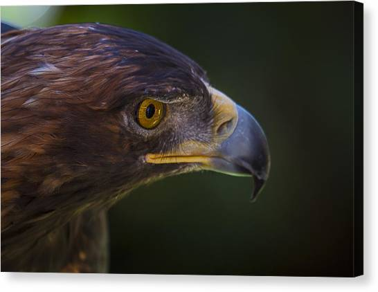 Golden Eagle Canvas Print - Golden Eagle Hunting For Prey by Garry Gay