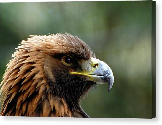 Golden Eagle Canvas Print - Golden Eagle by Ian Gowland/science Photo Library