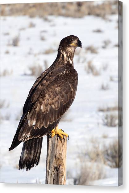 Golden Eagle On Fencepost Canvas Print