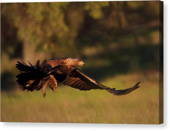Golden Eagle On The Hunt Canvas Print