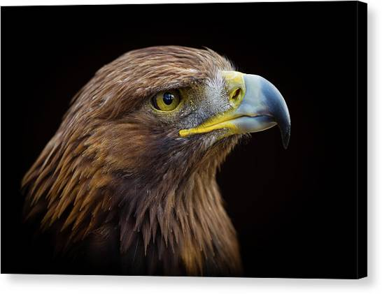 Golden Eagle Canvas Print by Peter Orr Photography