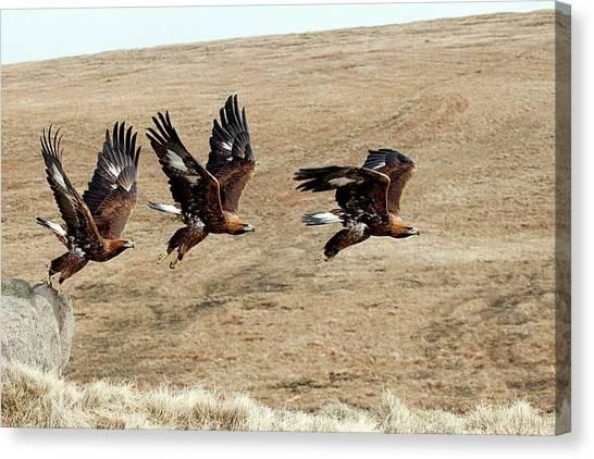 Golden Eagle Canvas Print - Golden Eagle Taking Off by Alex Hyde