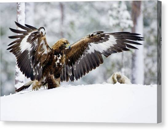 Golden Eagle Canvas Print - Golden Eagle With Hare by John Devries/science Photo Library
