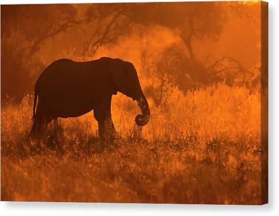 Deltas Canvas Print - Golden Elephant In Savute by Mario Moreno