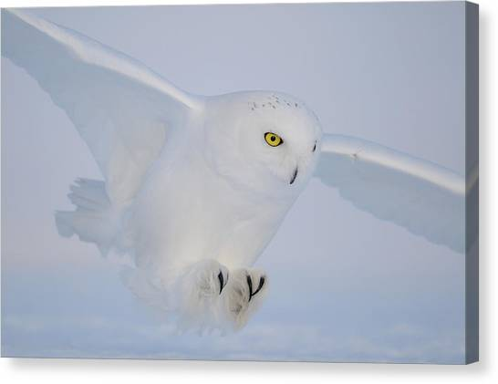 Quebec Canvas Print - Golden Eyes On The Hunt by Yves Adams