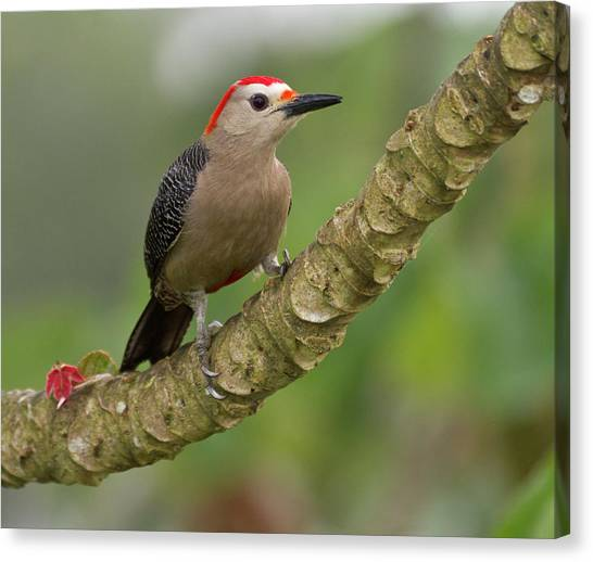 Belize Canvas Print - Golden-fronted Woodpecker (melanerpes by William Sutton