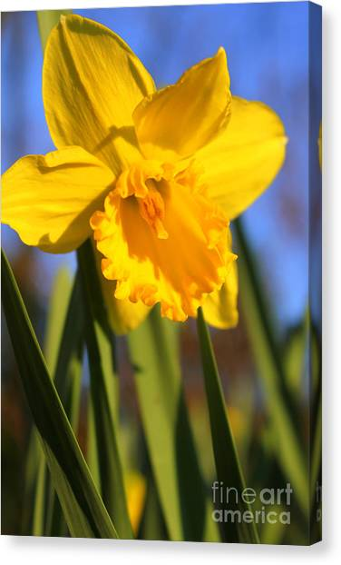 Golden Glory Daffodil Canvas Print