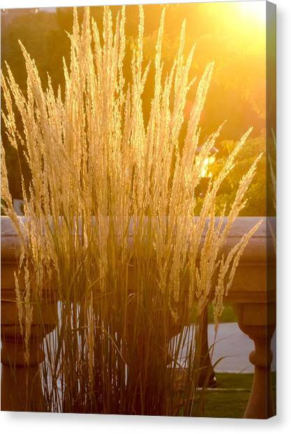 University Of Iowa Canvas Print - Golden Grasses by Cynthia Woods