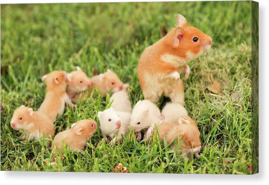 Syrian Canvas Print - Golden Hamster With Young by Photostock-israel