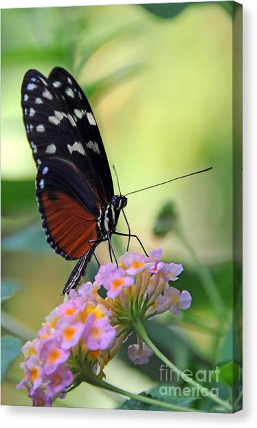 Golden Helicon Butterfly - Say What Canvas Print