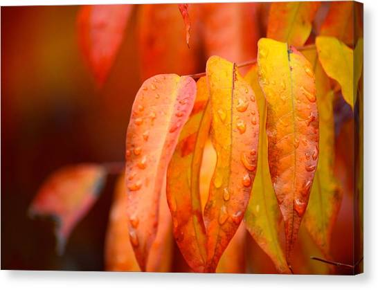 Golden Leaves In The Rain At Stanford Canvas Print