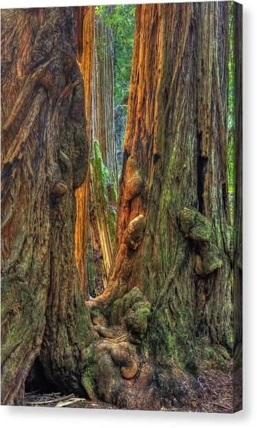 Golden Light Reaches The Grove Floor Muir Woods National Monument Late Winter Early Afternoon Canvas Print