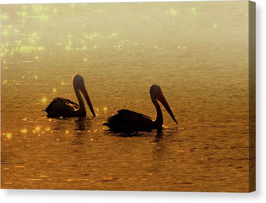 Pelicans Canvas Print - Golden Morning by Mike  Dawson