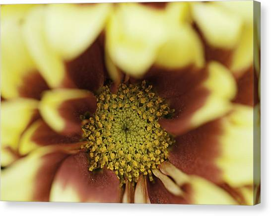 Golden 'mum Canvas Print by Lesley Rigg