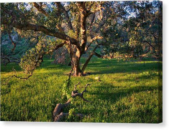 Golden Oak Canvas Print