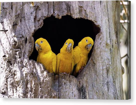 Iguazu Falls Canvas Print - Golden Parakeets In A Tree Hollow by Dr P. Marazzi/science Photo Library