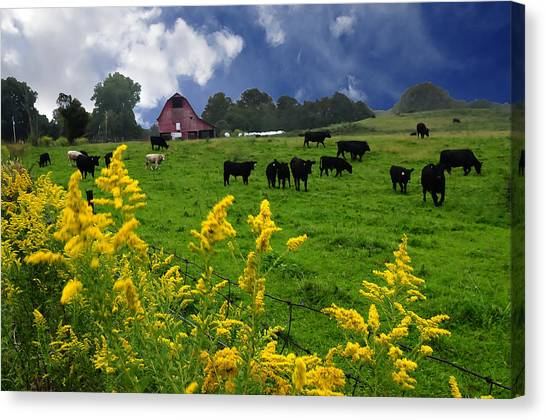 Golden Rod Black Angus Cattle  Canvas Print