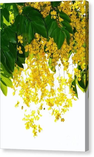 Golden Showers Flowers Canvas Print
