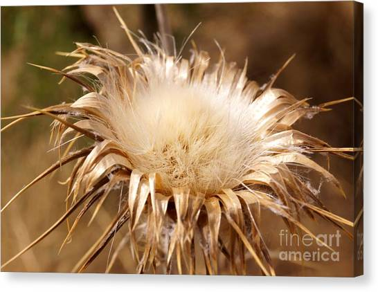 Golden Thistle Canvas Print
