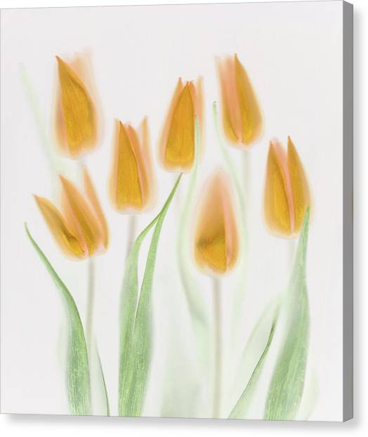 Golden Tulips Canvas Print by Brian Haslam