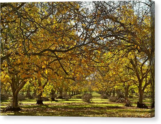Golden Walnut Orchard Canvas Print