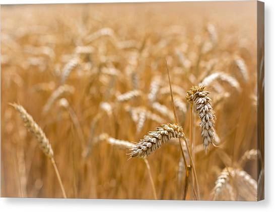 Canvas Print featuring the photograph Golden Wheat. by Gary Gillette