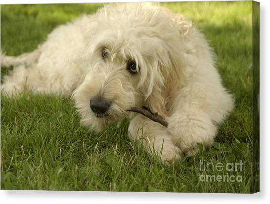 Goldendoodle Pup With Stick Canvas Print