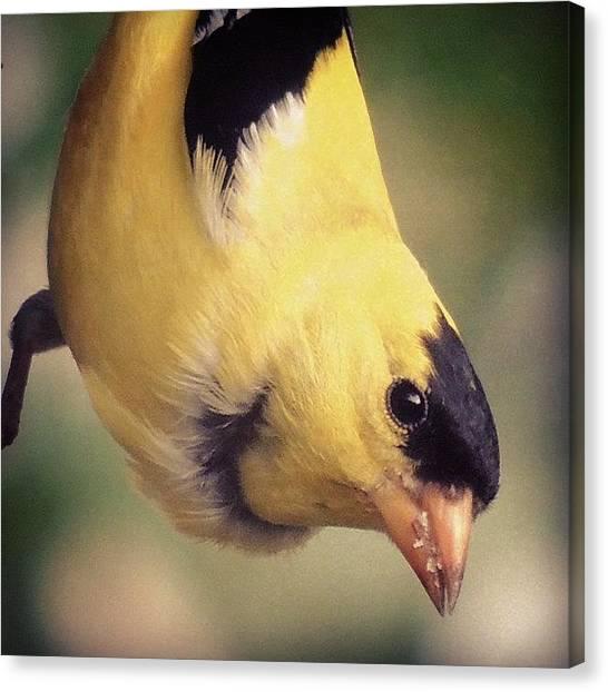 Finches Canvas Print - #goldfinch #finch #birds #bird by Robb Needham