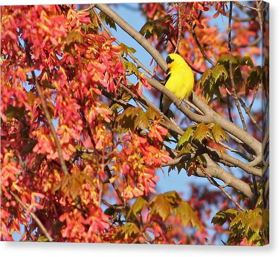 Goldfinch In Spring Maple Tree Canvas Print