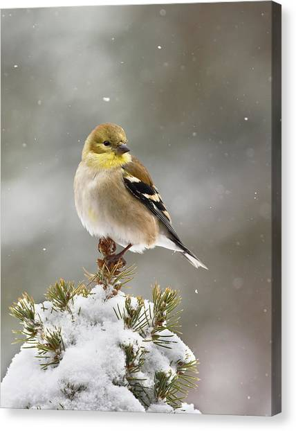 Goldfinch In The Snow Canvas Print