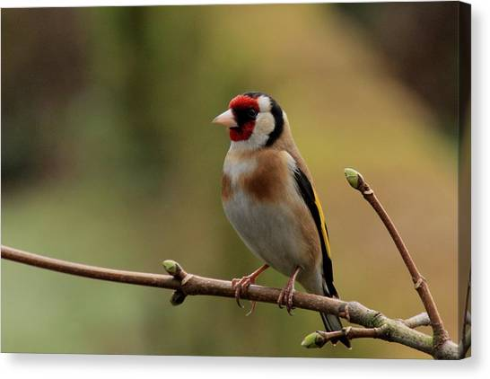 Goldfinch Canvas Print by Peter Skelton