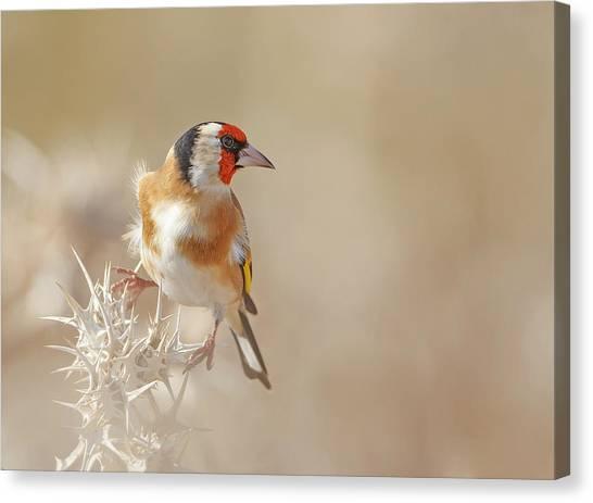 Finches Canvas Print - Goldfinch - Profile by Shlomo Waldmann