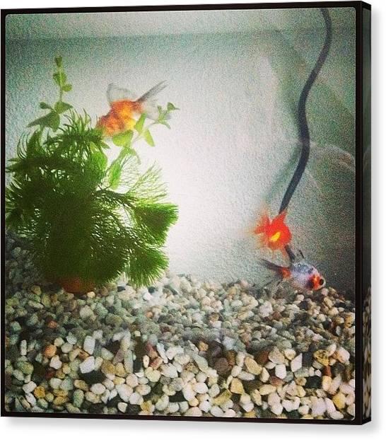 Goldfish Canvas Print - #goldfish #fish #aquarium #pet #pets by Wesley Van burgsteden