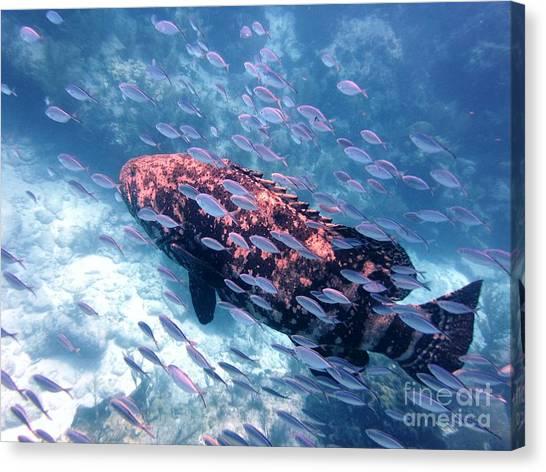 Goliath Grouper Canvas Print by Daniel Smith